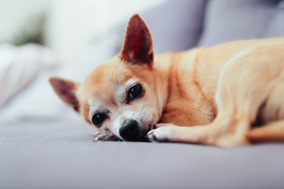 a tiny brown chihuahua waiting on a couch, looking forlorn